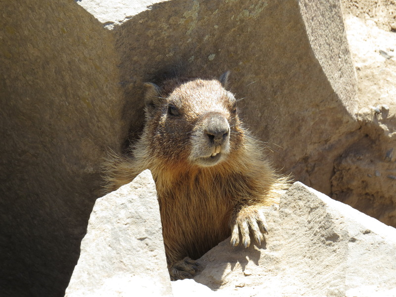 Closeup of a yellow-bellied marmot
